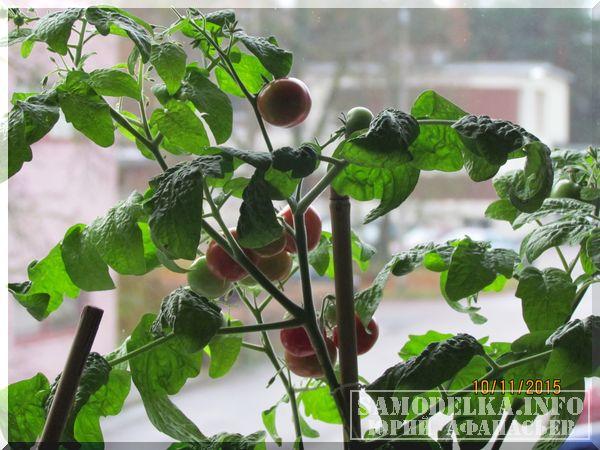 помидоры черри выращенные с помощью самодельной светодиодной лампы для растений