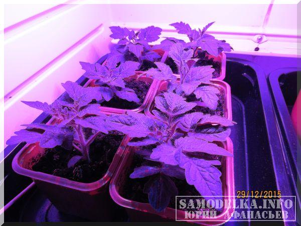 помидоры черри в самодельном гроубоксе
